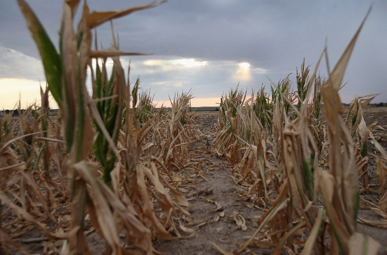 WILEY, CO - AUGUST 22: Rain clouds move over parched corn on August 22, 2012 near Wiley, on the plains of eastern Colorado. A summer storm came too late to help farmers whos crops were decimated in the wide zone of exceptional drought in Colorado's eastern plains. Farmer Jay Sneller had left standing a small portion of his more than 300 acres of corn, so that an insurance agent could inspect the damage. Most of the high plains areas of eastern Colorado and virtually all of Nebraska and Kansas are still in extreme or exceptional drought, despite recent lower temperatures, according to the University of Nebraska's Drought Monitor. The record-breaking drought, which has affected more than half of the continental United States, is expected to drive up food prices by 2013 due to lower crop harvests and the adverse effect on the nation's cattle industry.   John Moore/Getty Images/AFP